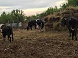 Продаются Коровы